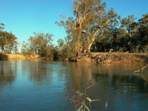 Murray Cod habitat showing an anabranch of the main river. Murray Cod (Maccullochella peelii) are a fish species that are known to use both mainstem and anabranch habitats in the Murray-Darling Basin. Photo:Jason Higham Source: Finterest, bringing back native fish.