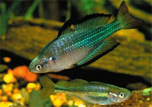 Photo above: Murray River Rainbowfish Melanotaenia fluviatilis. These beautiful Rainbowfish are found in many of the Murray River's tributaries, and are found as far south as the upper Goulburn River at Shepparton in Northern Central Victoria. Photo: Gunther Schmida